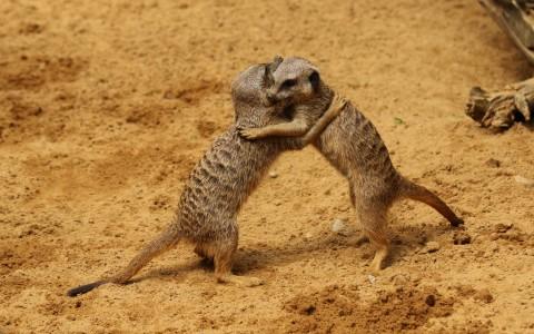 meerkat_hug-img_1193